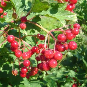Highbush Cranberry 2 Year Containerized
