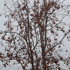 Hybrid Pear Non-Grafted 2 Year Containerized