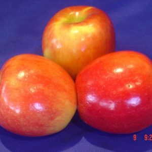 Honeycrisp 1 year Select Grafted Containerized