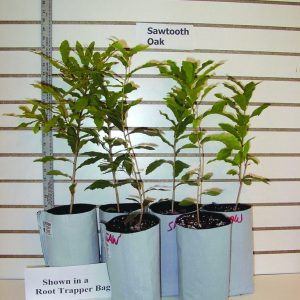 Bartlett Pear Grafted 1 Year Containerized