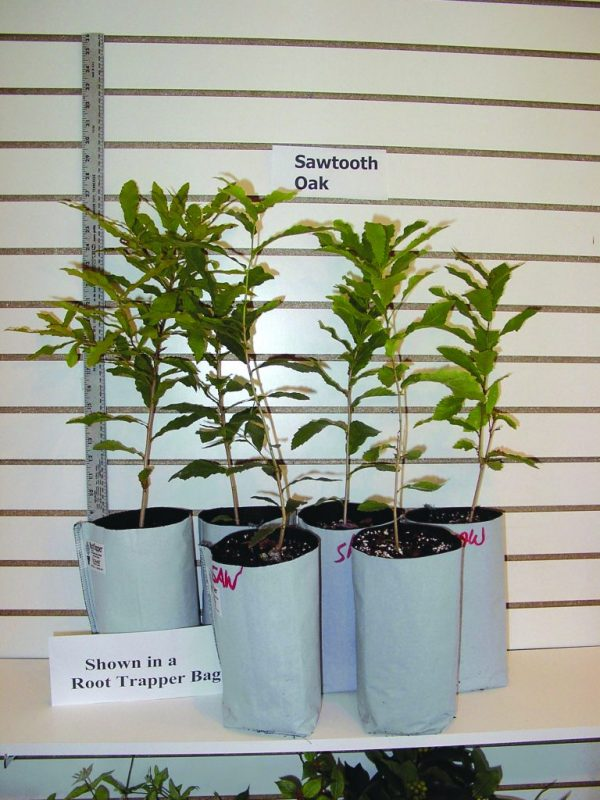Seckel Pear Grafted 2 Year Containerized