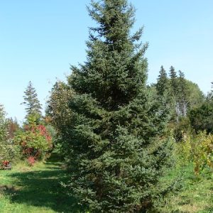 White Spruce 2 Year Containerized