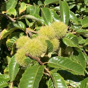 August Drop American Hybrid Chestnut 1 Year